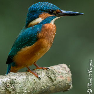 Kingfisher male juvenile