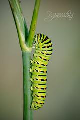 Oruga de Papilio machaon (pgonmay) Tags: macro macrophotography caterpillar machaon papilio bug oruga verano nikkor105macro color colors