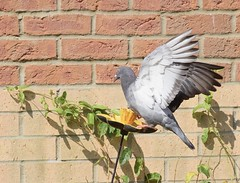 #2 - Pigeon - It's not as easy as it looks (MJ Harbey) Tags: bird wall birdfeeder pigeon columbadomestica columbaliviarustica plant nikon d3300 nikond3300 inmygarden wings flappingwings