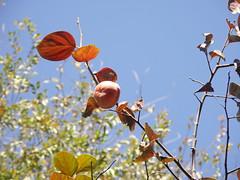 Persimmons / 柿子树 (caitriana) Tags: beijing china ihep autumn