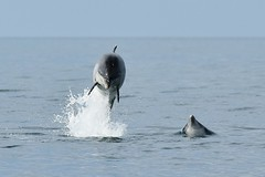 Dolphin flying through the air (karen leah) Tags: dolphin bottlenose mammal nature wildlife outdoors sea july summer cardiganbay ceredigion movement leaping acrobatics