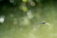 Blue-eyed Darner (pringlecliff) Tags: dragonfly summer swanlake vernon britishcolumbia canada ca