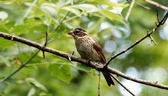 Rose-breasted Grosbeak female. (Dan A. Cetinic.) Tags: sony birds ojibway
