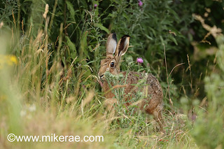 Brown hare hidden by thistle dry ground. July Suffolk.  Lepus europaeus