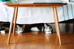 [ハチマロ通信] ソファの下で涼むハチマロ (moriyu) Tags: japan tokyo nikon d700 cat 東京 ニコン 猫
