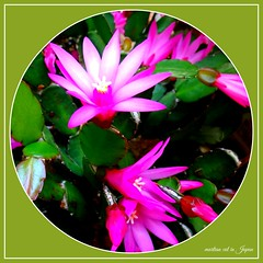 """""""Happiness is a conscious choice, not an automatic response."""" (martian cat) Tags: ribbet succulent inspirational ©martiancatinjapan allrightsreserved© macro flower nature succulents ©allrightsreserved martiancatinjapan© balconygarden mybalconygarden gardening hobby beauty ☺allrightsreserved allrightsreserved epiphylium cactus ☺martiancatinjapan martiancat martiancat© ©martiancat martiancatinjapan"""