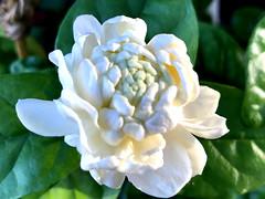 'Grand Duke of Tuscany' Jasmine Flower At Dawn (Chic Bee) Tags: granddukeoftuscany jasmine doublefloweredcultivar poolside flowerpot fragrant fragrance alhambragarden tucson arizona southwesternusa americansouthwest northamerica
