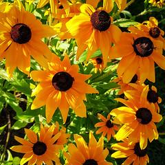 Galliardas bathed in the sun (Dan Guimberteau) Tags: treignac nouvelleaquitaine france fr lightroom dxo flower sun correze limousin