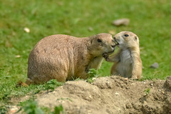 Happy fathers day daddy (Paul Wrights Reserved) Tags: prairiedog prairiedogs dog dogs mammal mammals fathersday happy father son child baby young adult whisper love sweet cute family animal animalantics