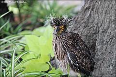 Yellow_Crown_Night_Heron_1 (eyecancu) Tags: yellow crown night heron