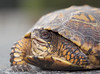 Eastern Box Turtle closeup 2 (brian.magnier) Tags: new jersey wildlife animals nature
