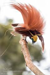 Raggiana Bird of Paradise (KevinBJensen) Tags: png papua new guinea highlands travel mountains sea lake trees mountain green wild animal wilderness wildlife nistar nikon asia nisthi w2e national park nature photography natgeo