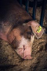 Solanco Fair 2017 (Jen MacNeill) Tags: pig pigs animals farm 4h solanco pa quarryville ag agriculture