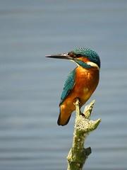 Ijsvogel 13 juli (_BieFeen) Tags: ijsvogel kingfisher bird canon zoom