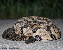 Timber Rattlesnake. Crotalus horridus (Snakes on the Plains Photography) Tags: mackey nathan venomous snake canebrake oklahoma horridus crotalus crotalushorridus timberrattlesnake rattlesnake timber
