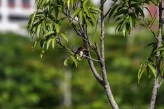 20180708-0I7A8767 (siddharthx) Tags: 7dmkii bird birdwatching birding birdsinthewild bishanangmokiopark canon canon7dmkii ef100400f4556isii ef100400mmf4556lisiiusm nature singapore singaporeparks trek urbanbirds urbangreens sg whitethroatedkingfisher whitebreastedkingfisher kingfisher