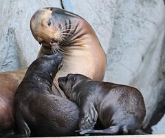 californian sealion Artis JN6A1755 (j.a.kok) Tags: zeeleeuw californiansealion californischezeeleeuw sealion animal artis amerika america mammal zoogdier dier predator caroline