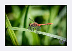 1O7A3415.jpg (kishwphotos) Tags: naturalworld ruddydarter wildlife dragonfly nature walpolepark parks insect attractions naturalhistory geology