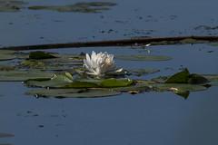 (Rick 2025) Tags: belleisle river saintlawrenceriver flowers