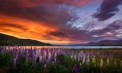 Good and Evil (inkasinclair) Tags: lupins lake tekapo sunset clouds storm flowers water new zealand south island landscape summer mountains flower bloom