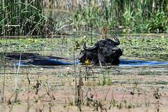 Water buffalo_01 (Jan Thomas Landgren) Tags: prespa prespes mikriprespa wetland wetlands wildlife nature natur nikon nikond500 tamron tamron150600mm outdoor outdoors greece grekland djur vattenbuffel waterbuffalo animal animals mammal mammals buffalo bubalusbubalis