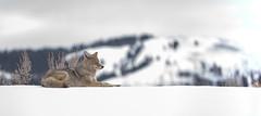 Content Coyote (matthewschonert) Tags: winter snow yellowstone coyote ynp national park wildlife animal nature white sleeping sleep wyoming wy usa united states