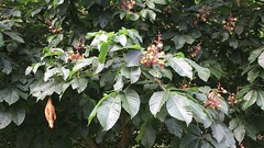 Red Horse Chestnut (Aesculus x carnea) - leaves & young fruit - June 2018 (Exeter Trees UK) Tags: red horse chestnut aesculus x carnea leaves young fruit june 2018