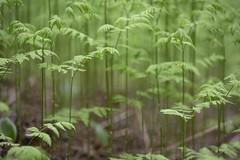 A Forest Of Ferns (Edmonton Ken) Tags: stems forest fern british columbia travel green