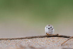 Small Hurdles (PhillymanPete) Tags: shorebird pipingplover beach wildlife young charadriusmelodus baby plover chick nature sand driftwood bird shore nikon d500 hurdle