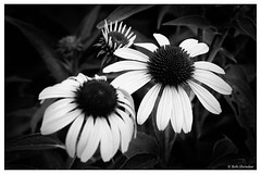 Coneflowers in Black and White (PEN-F_Fan) Tags: monochrome mirrorless microfourthirds monotone pencamera olympuspenf northamerica mzuiko12100mmf40pro lens ladybirdjohnsonwildflowercenter m43 mft macro style raw purpleconeflower texas zoomlens unitedstatesofamerica type photoframe photoedge photoborder plant processingsoftware preset postprocessing bwfilms blackandwhite camera alienskin alienskinexposure asterfamily closeup filmlook flower kodalith echinaceapurpurea effect filmeffect austin