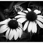 Coneflowers in Black and White thumbnail
