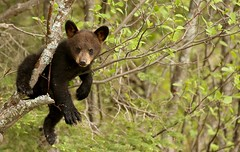 Black bear cub... just hanging out... (Guy Lichter Photography - 4M views Thank you) Tags: cub blackbear bears bear mammals mammal animals animal wildlife rmnp manitoba canada 5d3 canon