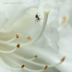 Tiny Spider & White Flower 3 (strjustin) Tags: spider arachnid flower macro insect bug