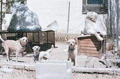 Three dogs and their tiger friend (radargeek) Tags: tucson az arizona film 35mm minolta x370s bob portrait tiger stuffedanimal dog 2018 may