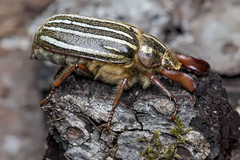 Ten-lined June Beetle (Martin Dollenkamp) Tags: vancouverisland polyphylladecemlineata watermellon beetle tenlinedjunebeetle insect nature