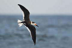 Banking Black Skimmer (adbecks) Tags: black skimmer new jersey wildlife birds flight nj nikon 300 pf lens review