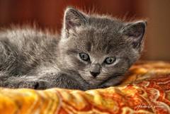 I micetti (Alessandro__78) Tags: mici micini gatto gattino gattini micetti certosino certosini cucciolo cuccioli chartreux cat cats littlecats kitten portrait ritratto 2018 luglio d80 animaledomestico