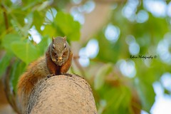 Squirrel (Robica Photography) Tags: robicaphotography d3200 nature squirrel tree green brown daytime sweet eating blue sky lovely colourful animal wood park thailand