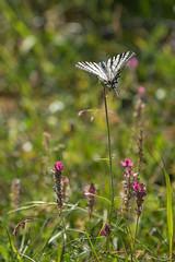 Flambé dans les prés (**Meg's Photos**) Tags: derborence flambé papillon conthey valais suisse ch