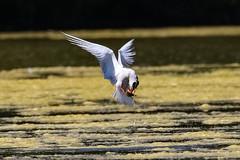 Dinner Turn (stellagrimsdale) Tags: bird birdphotography birding birdinflight birdeating turn commontern fish fishing pond water weed blanketweed