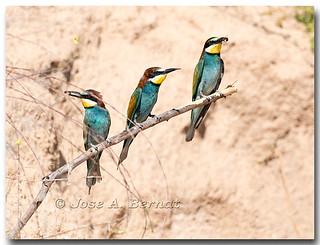 Abejarruco (Merops apiaster)