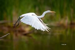 Great Egret (Mike Veltri) Tags: greategret egret birds avian flight takeoff nature naturephotography wild ontario canada