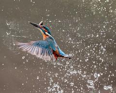 The Prize! (Andy Morffew) Tags: kingfisher fish emerging catch male andymorffew morffew
