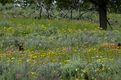 Where did Mama go (utski7) Tags: yellowstonenationalpark cinnamonblackbear bearcub wildlife flowers summer2018
