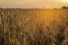 ripe and heavy - reif und schwer (ralfkai41) Tags: hordeumvulgare sunset sonne sonnenuntergang getreide natur agriculture sun gerste pflanzen barley ähren backlight landwirtschaft feld corn korn gegenlicht field