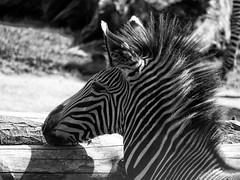 Zebra (ingrid eulenfan) Tags: leipzig zoo zebra tier animal huftier schw blackandwhite schwarzweiss