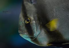 Up Close and Personal (Rainfire Photography) Tags: fish ripleys aquarium toronto ontario canada nikon d7200 platax