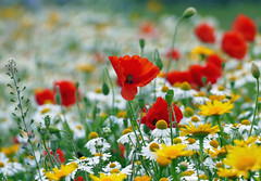 Wildflowers (eric robb niven) Tags: ericrobbniven scotland wildflower daisies poppies inverbervie dundee