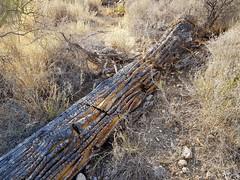 Fallen Giant (jeffcbowen) Tags: saguaro cactus dead death desert arizona tucson