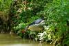 Bihoreau gris (Nycticorax nycticorax) pêche une écrevisse (Philippe Renauld) Tags: bihoreau gris nycticorax blackcrowned night heron grépiac occitanie france fr